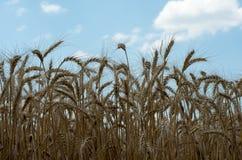 зрелая пшеница Стоковые Фотографии RF