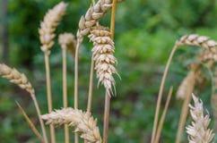 зрелая пшеница Стоковое Изображение RF