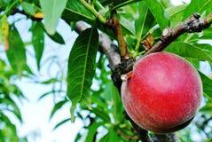 Зрелая смертная казнь через повешение персика от ветви Стоковое Фото