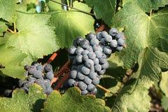 Зрелая черная виноградина Стоковое Изображение