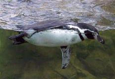Зрелище Чили Перу птицы пингвина Гумбольдта бескрылое Стоковое Изображение RF