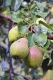 Зрелое лето приносить груши на ветви дерева Стоковые Фото