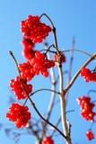 Зрелое калины красное Стоковая Фотография