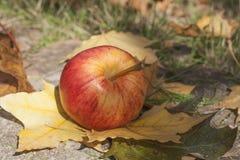 Зрелое красное яблоко лежа на слое зрелых листьев осени Стоковые Изображения RF
