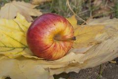Зрелое красное яблоко лежа на слое зрелых листьев осени Стоковое Изображение RF