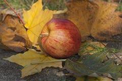 Зрелое красное яблоко лежа на слое зрелых листьев осени Стоковое Фото