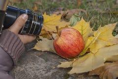 Зрелое красное яблоко лежа на слое зрелых листьев осени Стоковые Фотографии RF