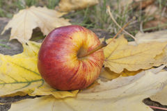 Зрелое красное яблоко лежа на слое зрелых листьев осени Стоковые Изображения