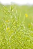 Зрелое месторождение нефти рапса зеленый цвет фасолей свежий Стоковые Изображения RF
