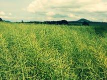 Зрелое поле рапса семени масличной культуры зеленый цвет фасолей свежий Рапс семени масличной культуры Стоковые Изображения