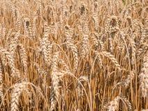 Зрелое поле ушей пшеницы в солнечном дне Стоковые Фотографии RF