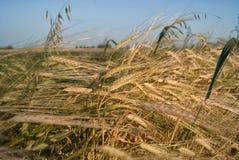 Зрелое пшеничное поле в солнце Стоковые Изображения