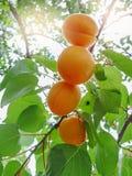 Зрелое сладостное растущее плодоовощей абрикоса на ветви дерева абрикоса Стоковая Фотография