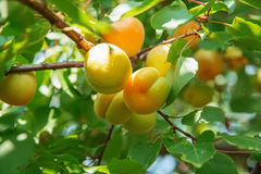 Зрелое сладостное растущее плодоовощей абрикоса на ветви дерева абрикоса внутри или Стоковое Изображение RF