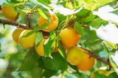 Зрелое сладостное растущее плодоовощей абрикоса на ветви дерева абрикоса внутри или Стоковое фото RF