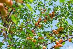 Зрелое сладостное растущее плодоовощей абрикоса на ветви дерева абрикоса внутри или Стоковые Фотографии RF