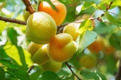 Зрелое сладостное растущее плодоовощей абрикоса на ветви дерева абрикоса внутри или Стоковая Фотография RF