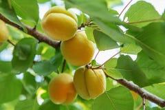 Зрелое сладостное растущее плодоовощей абрикоса на ветви дерева абрикоса внутри или Стоковая Фотография
