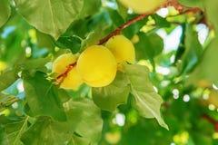 Зрелое сладостное растущее плодоовощей абрикоса на ветви дерева абрикоса внутри или Стоковые Изображения RF