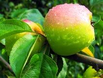 Зрелое яблоко на ветви Стоковые Изображения RF