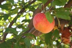 Зрелое яблоко стоковые фотографии rf