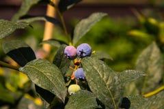 Зрелое bluberry Стоковое Фото