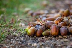 Зрелость и размеры жолудей различные лежат на поле под дубом в лесе Стоковое фото RF