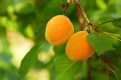 Зрелые абрикосы на ветви Стоковое Фото