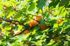 Зрелые абрикосы на дереве Стоковое Изображение RF
