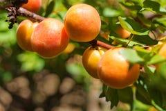 Зрелые абрикосы на дереве Стоковое Фото