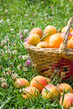 Зрелые абрикосы с зелеными листьями в корзине на белизне Стоковые Изображения