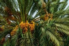Зрелые даты на пальме, Марокко стоковые фото