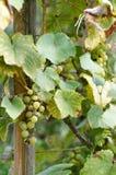 Зрелые виноградины в солнечном дворе лозы Виноградины растя на лозе Стоковые Фотографии RF