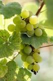 Зрелые виноградины в солнечном дворе лозы Виноградины растя на лозе Стоковые Изображения