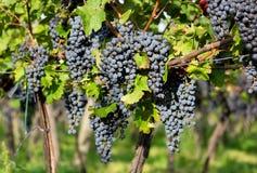 Зрелые виноградины в солнечном дворе лозы Стоковая Фотография
