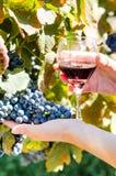 Зрелые виноградины и бокал вина в руках людей Стоковая Фотография