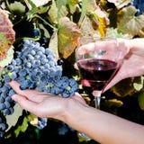 Зрелые виноградины и бокал вина в руках людей Стоковые Изображения
