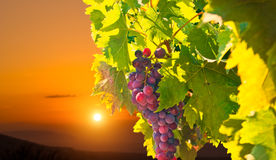 Зрелые виноградины на заходе солнца стоковые фотографии rf