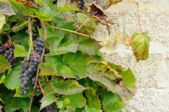 Зрелые виноградины на фоне стены Стоковые Изображения RF