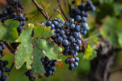 Зрелые виноградины перед сбором, Бордо, Франция Стоковое фото RF