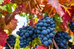 Зрелые виноградины Napa Valley Стоковая Фотография RF