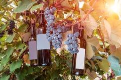 Зрелые виноградная лоза и бутылки Стоковое Фото