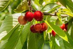 Зрелые вишни и листья на вишневом дереве Стоковая Фотография