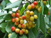 Зрелые вишни на ветви дерева Стоковые Фото