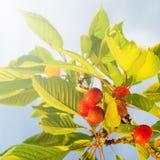 Зрелые вишни на ветви - квадратный состав Стоковое фото RF