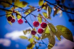 Зрелые вишни на ветви на предпосылке неба Стоковая Фотография RF