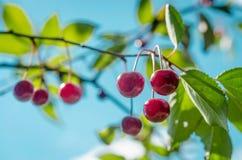 Зрелые вишни на ветви на предпосылке неба Стоковые Изображения RF