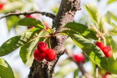 Зрелые вишни на вишневом дереве против голубого неба Стоковые Фото