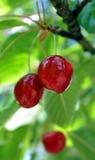 Зрелые вишни на дереве Стоковое фото RF