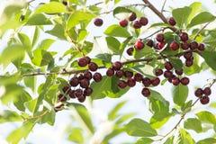 Зрелые вишни на дереве Стоковая Фотография RF